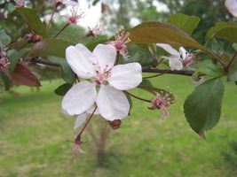 Prunus subhirtella a2.jpg