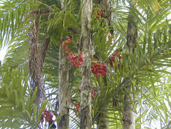 alt=Description de l'image Pupunha (Bactris gasipaes) 5.jpg.