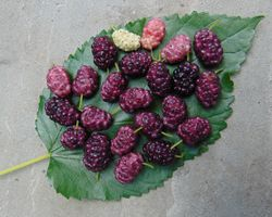 alt=Description de l'image Purple mulberries.jpg.
