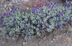 alt=Description de l'image Purple sage Salvia dorii plant.jpg.