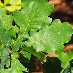 Blätter– Alice Kracht, CC BY-SA 4.0