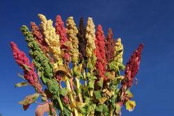 alt=Description of Quinoa Bioversity.jpg picture.