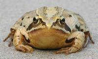 Moorfrosch– Rana arvalis: ♀♀