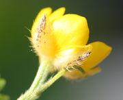 Die Butterblume ist nicht nur leuchtend gelb, sondern glänzt auch wie Butter. (Bild: W. Wohlers)