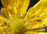 Am Grund der Kronenblätter ist die Gelbfärbung etwas anders, da sie dort auch Ultraviolett sind, für uns unsichtbar. (Bild: W. Wohlers)