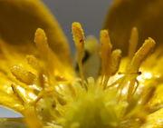 Die Antheren sind gelb wie der Pollen und öffnen sich zur Außenseite der Blüten. (Bild: W. Wohlers)