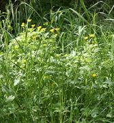 Die gelben Blüten des Kriechenden Hahnenfuß' fallen sofort auf. (Bild: W. Wohlers, JKI)