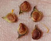 Die Samen sind abgeflacht und haben eine leicht gebogene Spitze. (Bild: W. Wohlers)