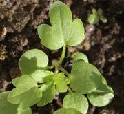 Die ersten Blätter sind nur dreifach gelappt. Diese Pflänzchen haben bereits eine Wurzel von 7 cm Länge. (Bild: W. Wohlers)