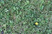 Im Rasen sind die Ausläufer für seine Verbreitung verantwortlich. (Bild: W. Wohlers, JKI)