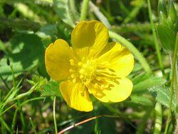 Kriechender Hahnenfuß: Blüte– Fabelfroh, CC BY-SA 3.0