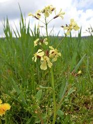 Acker-Rettich: Pflanze– Orikrin1998, CC BY-SA 3.0