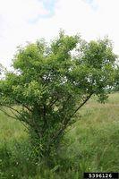 Rhamnus cathartica IPM5396126.jpg