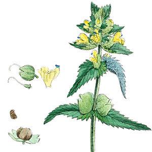 Kleiner Klappertopf (aus English Botany, Bd.6, 1880)