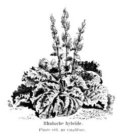 Rhubarbe hybride