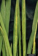 Rice stripe virus IPM5356977.jpg