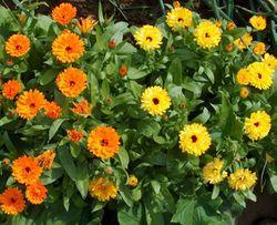 alt=Description de l'image Ringelblume-orange-gelb.jpg.