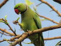 Rose-ringed Parakeet eating leaves.JPG