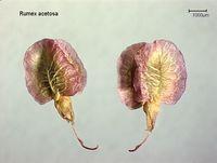 Rumex acetosa: Reife Frucht (Foto: Rolf Wißkirchen)