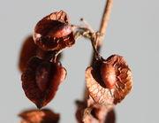 Die Samen sind oben 3 mm breit. Am unteren Rand sind sie rund, können aber auch spitz auslaufen. (Bild: W. Wohlers, JKI)