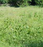 Aus der Ferne ist der Krause Ampfer nicht vom  Stumpfblättrigen zu unterscheiden. (Bild: W. Wohlers)