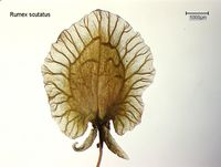 Rumex scutatus: Reife Frucht (Foto: Rolf Wißkirchen)