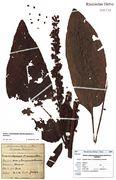 Rumex × heterophyllus: Saarland, Emmersweiler, leg F. Wirtgen 1886 (Herbar NHV) (Foto: G. Hagedorn & BGBM-Berlin)