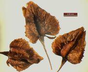 Rumex × heterophyllus: Reife Früchte. Bliesaue bei Bierbach (Saarland), leg. Rolf Wißkirchen, 21.09.2010 (Foto: Rolf Wißkirchen)