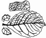 Salix aurita Blatt (Brigitte Hennig).png