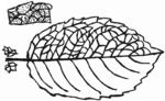 Salix caprea Blatt (Brigitte Hennig).png