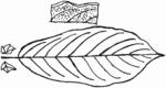 Salix cinerea Blatt (Brigitte Hennig).png