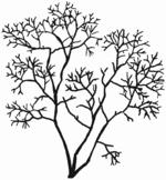Salix fragilis Habitus (Brigitte Hennig).png