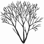 Salix pentandra Baum (Brigitte Hennig).png