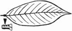 Salix pentandra Blatt (Brigitte Hennig).png
