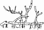 Salix repens Habitus (Brigitte Hennig).png