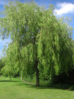Salix sepulchralis tree JR Press 443.JPG