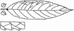 Salix triandra Blatt (Brigitte Hennig).png