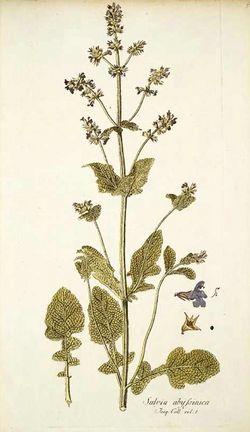 alt=Description de l'image Salvia abyssinica.jpg.