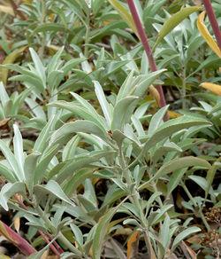 alt=Description de l'image Salvia apiana 2.jpg.