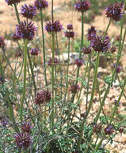 alt=Description de l'image Salvia columbariae.jpg.