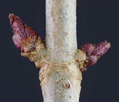 Sambucus nigra buds.jpg