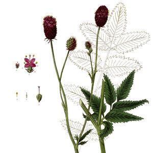 Abb.1einzelne Blüte 2Gleiche vergrößert, a.Deckblatt; b.Kelch; c.Staubblätter. 3einzelnes Staubblatt 4Fruchtknoten, Griffel und Narbe 5Frucht, etwas vergrößert—Abbildung aus Baxter (1839)