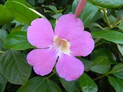 alt=Description de l'image Saritaea magnifica - single.JPG.