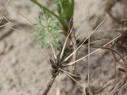 Sind die Samen abgefallen, dann bleiben die Fruchthalter, die Karpophoren zurück. (Bild: W. Wohlers, JKI)
