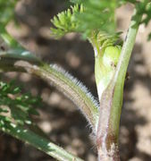 Aus einer Blattachsel entsprießt ein Seitentrieb mit einer Knospe, von der nur die Hüllblätter zu sehen sind. (Bild: W. Wohlers)