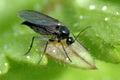 Sciara hemerobioides (Trauermücken– Sciaridae)