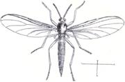 Sciara hemerobioides (Scopoli 1763)