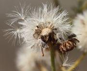 Der Samen wird vom Wind verbreitet. (Bild: W. Wohlers, JKI)