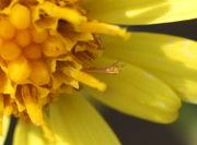 Das Androeceum ist aus fünf Antheren zusammen gewachsen, hier in der Mitte braun gefärbt. (Bild: W. Wohlers, JKI)