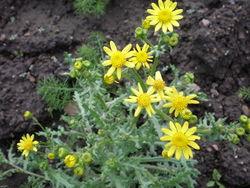 Frühlings-Greiskraut: Blüte– I, Hugo.arg, CC BY-SA 3.0